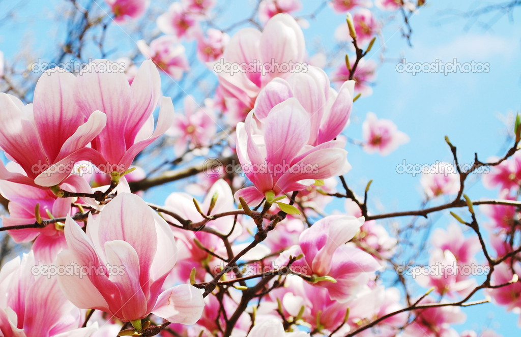 白玉兰树开花 — 图库照片