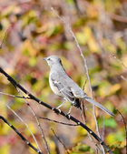 Northern Mockingbird, Mimus polyglottos — Stock Photo