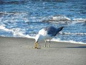 Seagull — Photo