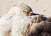 Pato selvagem — Fotografia Stock