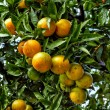 Branch orange tree fruits green leaves — Stock Photo