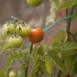 Stock Photo: TOMATOES ON THE VINE