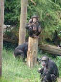 Chimpanzee eating — Stock Photo