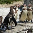 Penguins — Stock Photo #30199709
