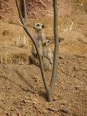 Meerkat — ストック写真