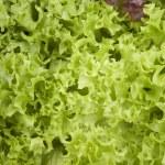 Close-up photo of fresh lettuce leaves — Stock Photo #48150805