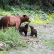 Stock Photo: Grizzly Bears, Valdez, Alaska