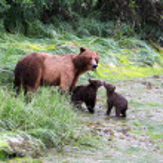 Grizzly Bears, Valdez, Alaska — Stock Photo #17197837