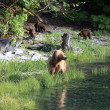 Grizzly Bears, Valdez, Alaska — Stock Photo