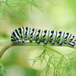 Black Swallowtail Caterpillar - Stock Photo