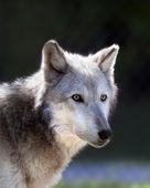 šedý vlk — Stock fotografie