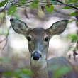 White Tailed Deer — Stock Photo #18325213