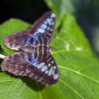 Stock Photo: Clipper Butterfly