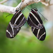Mating Zebra Longwing Butterflies — Stock Photo