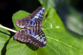 Clipper Butterfly — Stock Photo