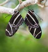 Mating Zebra Longwing Butterflies — Stock Photo