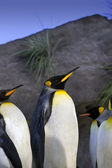 King Penguins — Stock Photo