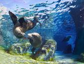 Kissing Sea Lions — Stock Photo