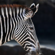 Stock Photo: Grevy's Zebra