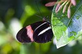 красный почтальон бабочка — Стоковое фото