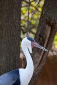 Wattled crane — Stockfoto