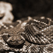Stock Photo: Western Diamondback Rattlesnake Closeup