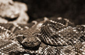 Western Diamondback Rattlesnake Closeup — Stock Photo