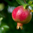 Red pomegranate on the tree - Stock Photo
