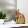 Cat yawns on the windowsill near the alarm — Stock Photo