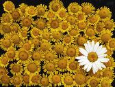 Yellow wildflowers — Stock Photo