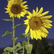 Stock Photo: Yellow sunflowers.