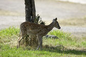 Deer stands in shade. — Stock Photo