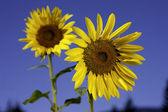 Dois girassóis amarelos brilhantes. — Foto Stock