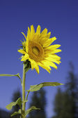 Bright sunflower in the sunlight. — Stock Photo