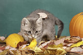 Kitty plays in leaves. — Stock Photo
