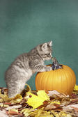 Kitty is curious about pumpkin. — Stock Photo