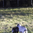 ������, ������: Young pygmy goats in the grass