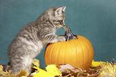 Kitten checks out pumpkin. — Stock Photo