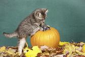 Kitten climbs on pumpkin. — Stock Photo