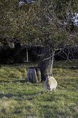 Pygmy goat near a tree. — Stock Photo