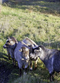 Group of pygmy goats. — Stock Photo
