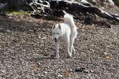 Husky runs on stones. — Stock Photo