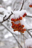 Snow on mountain ash berries. — Stock Photo