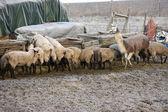 Livestock feeding at the trough. — Stock Photo