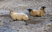 Three sheep lying down. — Stock Photo