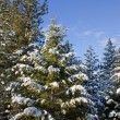 Stock Photo: Pine trees covered in snow.