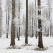 Stock Photo: Pine trees layered in frost.