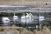 Whistling swans on the lake. — Stock Photo