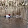 Canvasback waterfowl couple. — Stock Photo