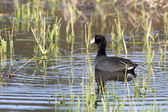 Coot swims in shallow grassy water. — Stock Photo